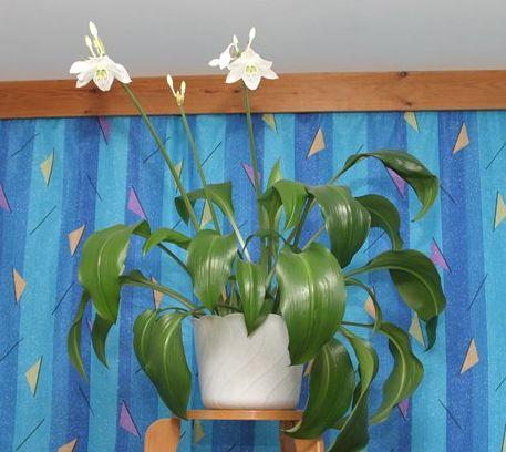 Амазонская лилия комнатная уход в домашних условиях