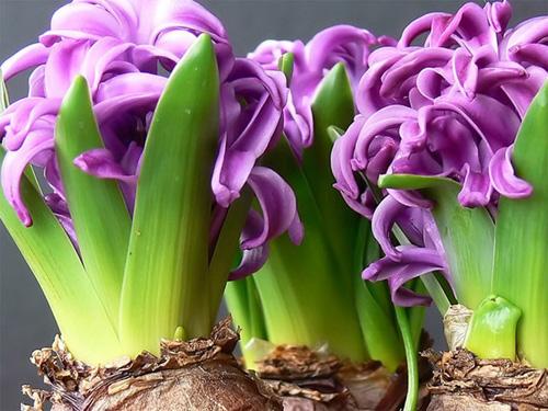 гиацинт фото hyacinth photo