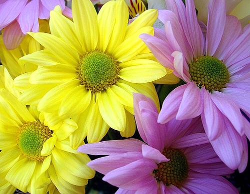 фото хризантем в хорошем качестве